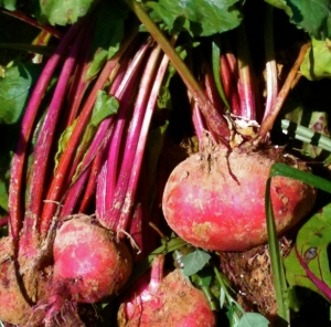 Fresh-picked beets